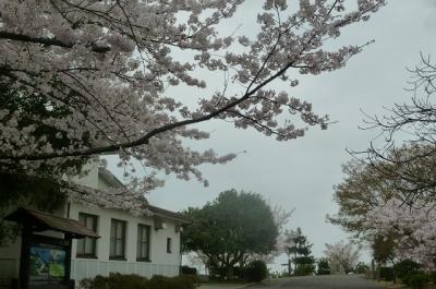 ビジターセンター前の桜