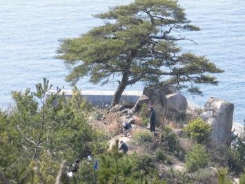 樹齢200年のクロマツ