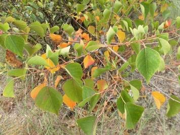 黄色く紅葉するナンキンハゼ