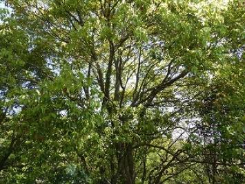 鷲羽山自然研究路に咲くクスノキ